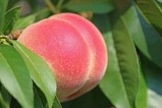Sistema identifica fase de maturação da fruta. (Foto: Freepik)